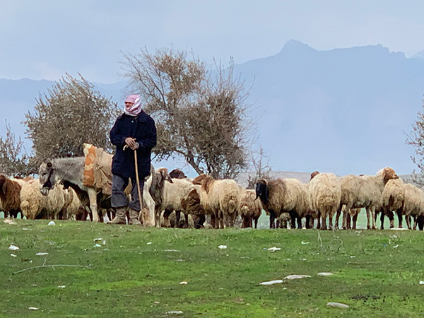 In an area under regular attack, a herder braves Turkish fire to feed his sheep